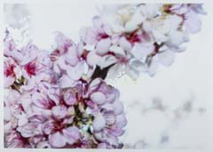 Photo of flowers titled, Blossom face number 10, by Rosslynd Piggott